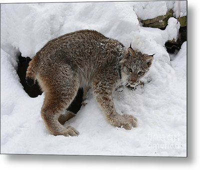 Baby Lynx Staying Close To Its Winter Den Metal Print by Inspired Nature Photography Fine Art Photography