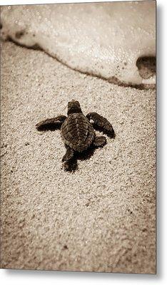 Baby Sea Turtle Metal Print by Sebastian Musial