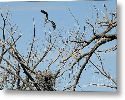 Back To The Nest Metal Print by Bob Hislop