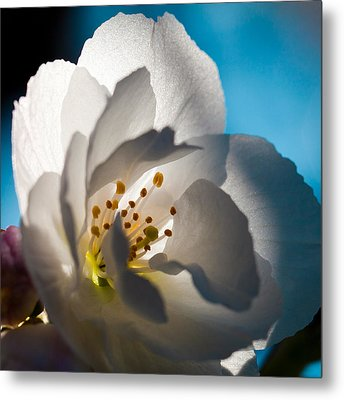Backlit Cherry Blossom Metal Print by David Patterson