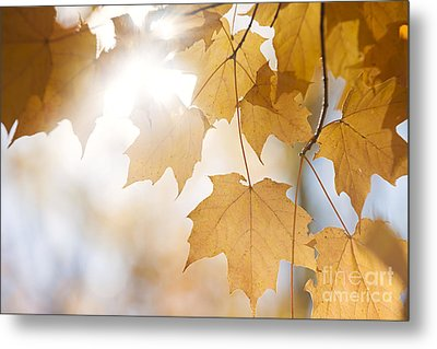 Backlit Fall Maple Leaves In Sunshine Metal Print by Elena Elisseeva