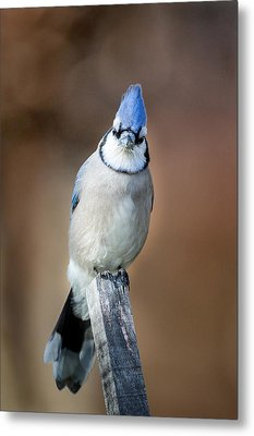 Backyard Birds Blue Jay Metal Print by Bill Wakeley