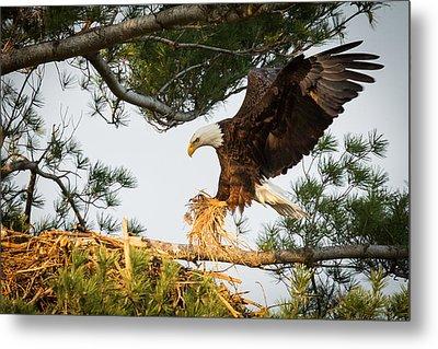 Bald Eagle Building Nest Metal Print by Everet Regal