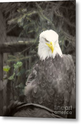 Bald Eagle Metal Print by Dawn Gari