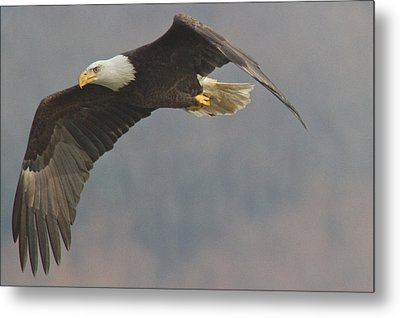 Bald Eagle On The Wing Metal Print by Stanley Klein