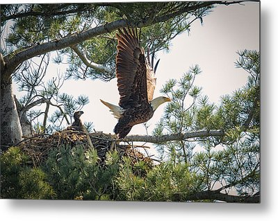 Bald Eagle With Eaglet Metal Print by Everet Regal