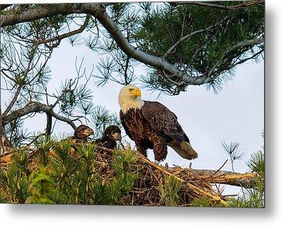 Bald Eagle With Eaglets  Metal Print by Everet Regal