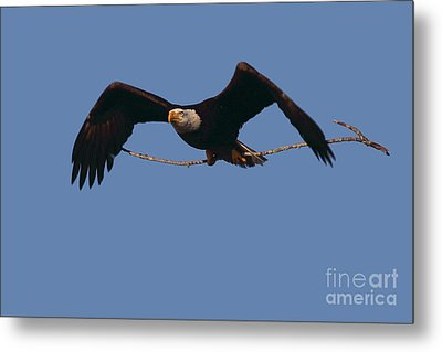 Bald Eagle With Nesting Supplies Metal Print by Meg Rousher