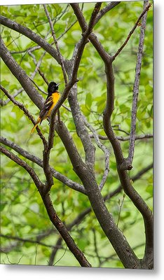 Baltimore Oriole Metal Print by Bill Wakeley