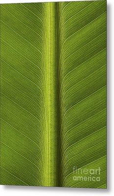 Banana Leaf Showing Rib Netherlands Metal Print by Ronald Pol