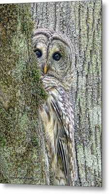 Barred Owl Peek A Boo Metal Print by Jennie Marie Schell