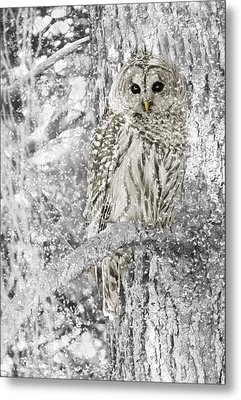 Barred Owl Snowy Day In The Forest Metal Print by Jennie Marie Schell
