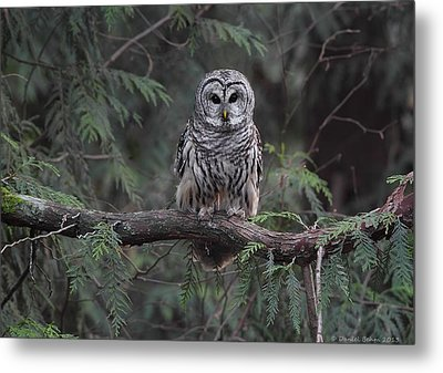 Barred Owl Stare Down Metal Print by Daniel Behm