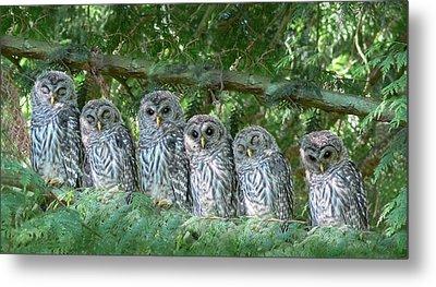 Barred Owlets Nursery Metal Print by Jennie Marie Schell