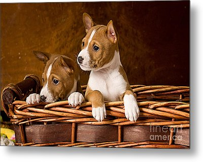 Basenji Puppies Metal Print by Marvin Blaine