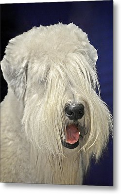 Bearded Collie - The 'bouncing Beardie' Metal Print by Christine Till