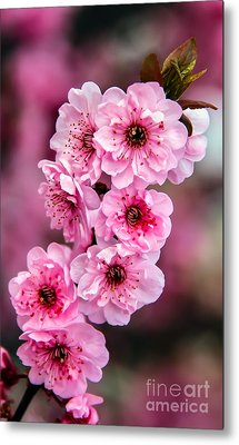 Beautiful Pink Blossoms Metal Print by Robert Bales