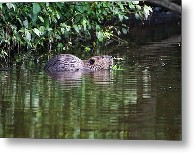 beaver swims in NC lake Metal Print by Chris Flees