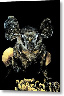 Bee Loaded With Pollen Metal Print by Darwin Dale