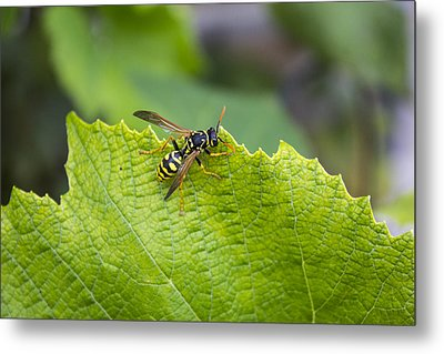 Bee Pict 1 Metal Print by Michel DesRoches