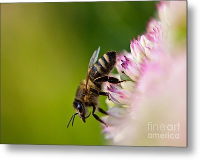 Bee Sitting On A Flower Metal Print by John Wadleigh