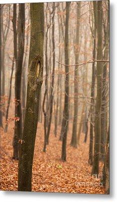 Beech Wood In Autumn Metal Print by Anne Gilbert