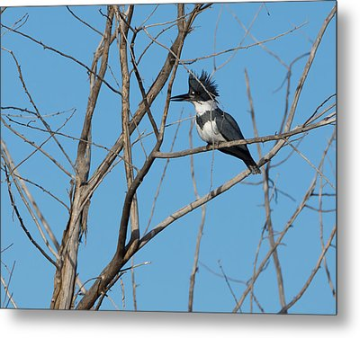 Belted Kingfisher 4 Metal Print by Ernie Echols