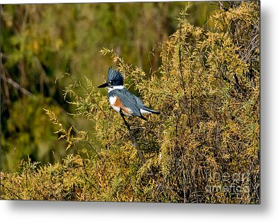 Belted Kingfisher Female Metal Print by Anthony Mercieca