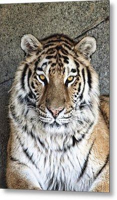 Bengal Tiger Vertical Portrait Metal Print by Tom Mc Nemar