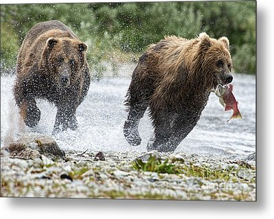 Big Bully On Funnel Creek Katmai National Park Metal Print by Dan Friend