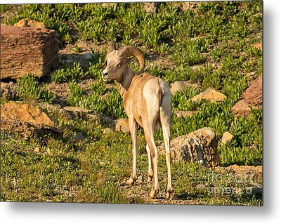 Bighorn Sheep Ram In Glacier Metal Print by Natural Focal Point Photography