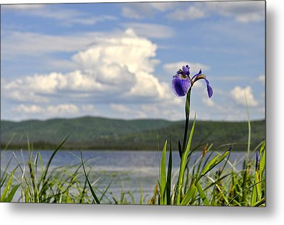 Birch Lake Iris Metal Print by Cathy Mahnke