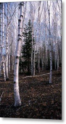 Birches Metal Print by Skip Willits