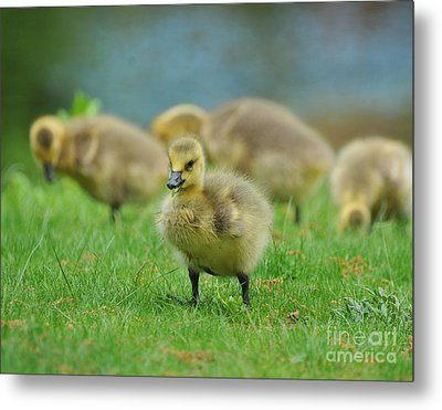 Bird - Baby Goose -leader Of The Pack Metal Print by Paul Ward