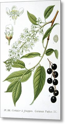 Bird Cherry Cerasus Padus Or Prunus Padus Metal Print by Anonymous