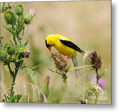 Bird -gold Finch Feasting  Metal Print by Paul Ward