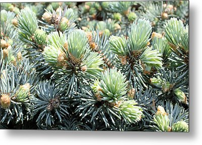 Bird's Nest Spruce Metal Print by Laura Watts