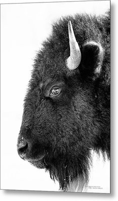 Bison Formal Portrait Metal Print by Dustin Abbott
