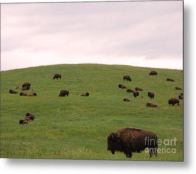 Bison Herd Metal Print by Olivier Le Queinec
