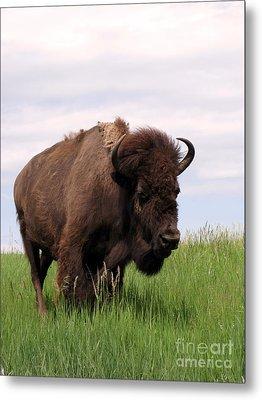 Bison On The Prairie Metal Print by Olivier Le Queinec