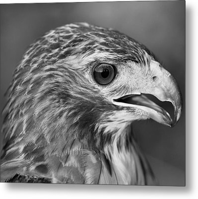 Black And White Hawk Portrait Metal Print by Dan Sproul