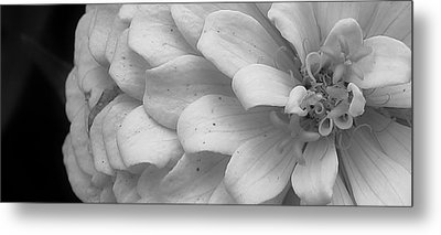 Black And White Zinnia Metal Print by Bruce Bley