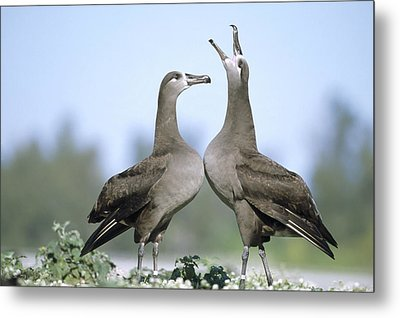 Black-footed Albatross Courtship Dance Metal Print by Tui De Roy
