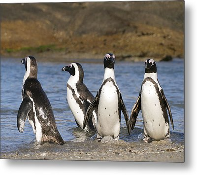 Black-footed Penguins On Beach Cape Metal Print by Alexander Koenders