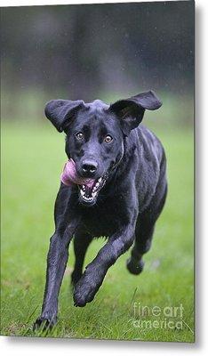 Black Labrador Running Metal Print by Johan De Meester