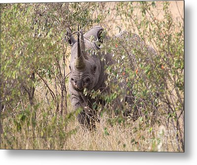 Black Rhino  Metal Print by Chris Scroggins