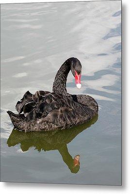 Black Swan Metal Print by Nigel Downer
