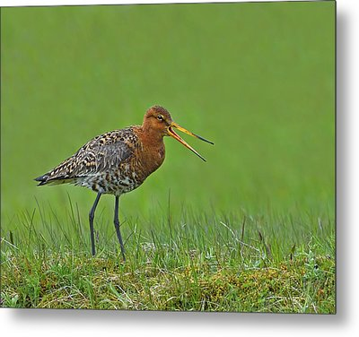 Black-tailed Godwit Metal Print by Tony Beck