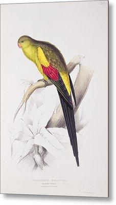 Black Tailed Parakeet Metal Print by Edward Lear