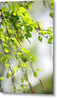 Blooming Birch Tree At Spring Metal Print by Jenny Rainbow